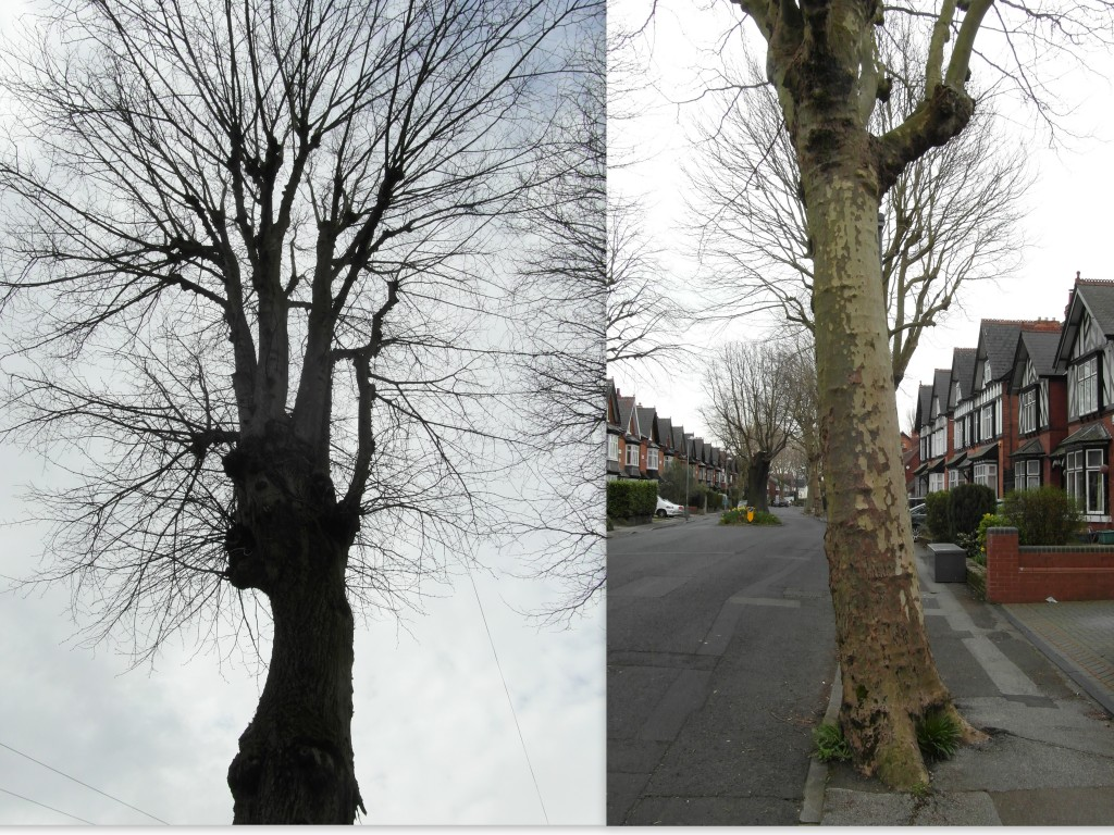 Arden Road trees - pair of trees